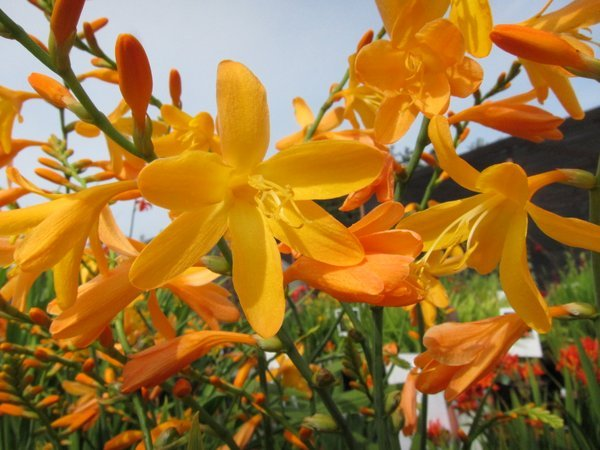 Crocosmia 'Large Apricot' ex Perryhill