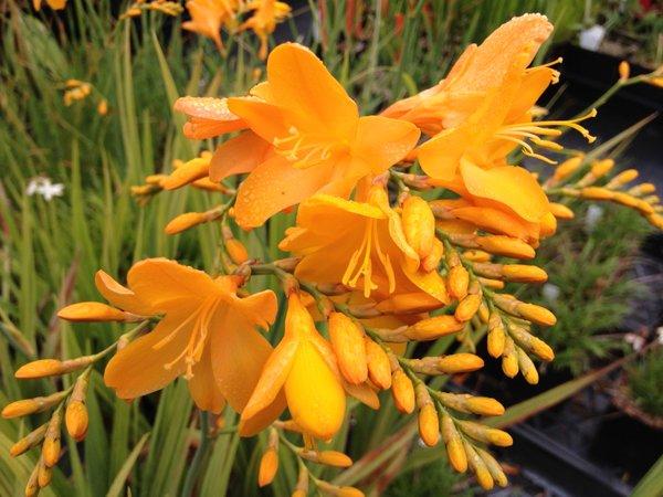 Crocosmia 'Walberton Yellow' ('Walcroy')