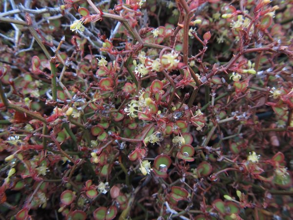 Smilax nana - syn. Damacanthus indicus