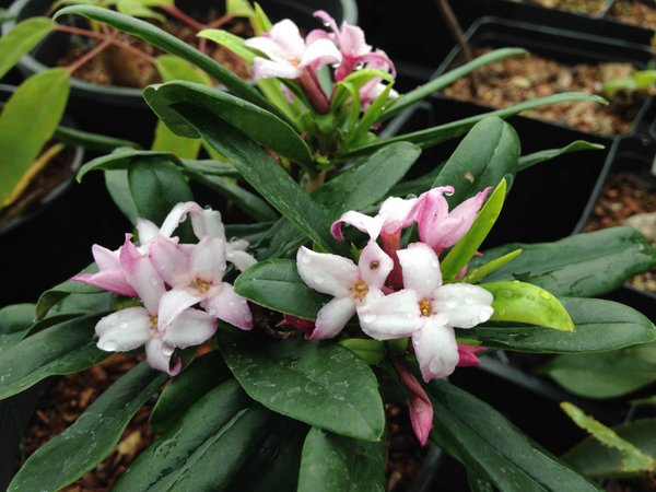 Daphne wolongensis MD06 ex China
