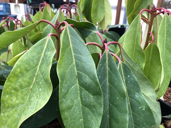 Daphniphyllum macropodum H2MD086