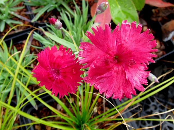 Dianthus 'Little Joe'
