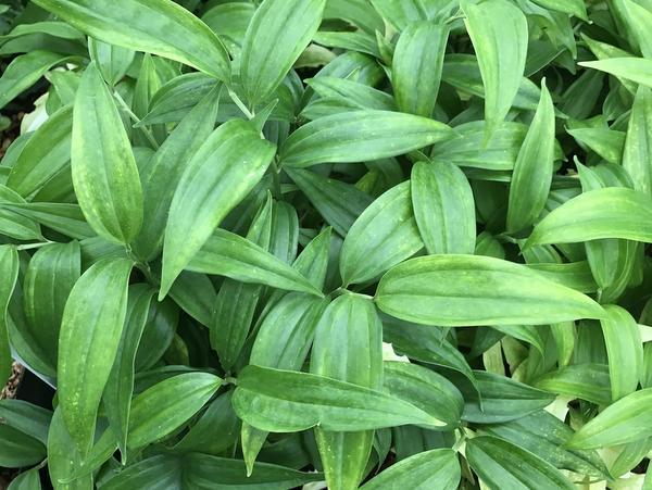 Disporopsis pernyi - Vietnam