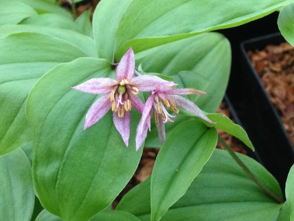 Disporum smilacinum 'Pink Star'