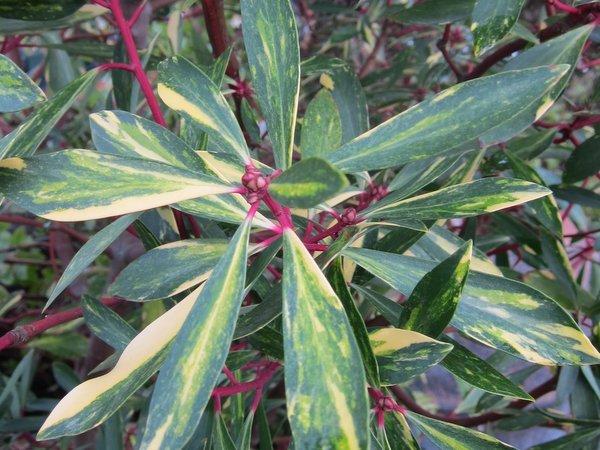 Tasmannia lanceolata 'Suzette' (syn. Drimys)