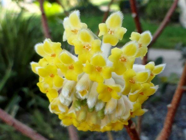 Edgeworthia chrysantha 39 nanjing gold 39 for Edgeworthia chrysantha
