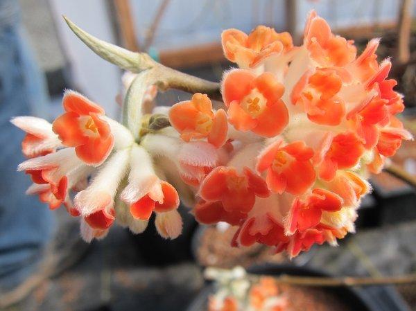 Edgeworthia chrysantha 'Akebono'