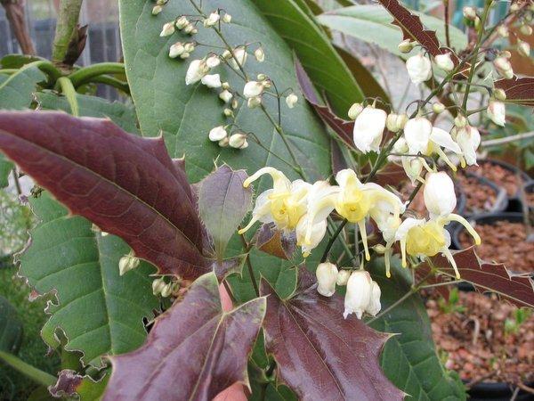 Epimedium wushanense - Spiny Leaf Form