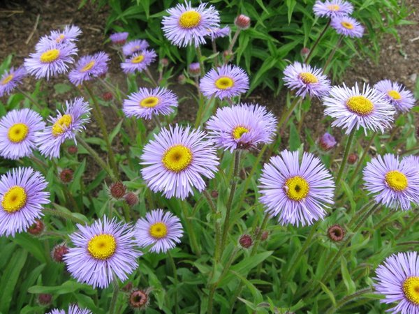 Erigeron sp. MD97