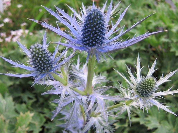 Eryngium x zabellii 'Big Blue' PP20636