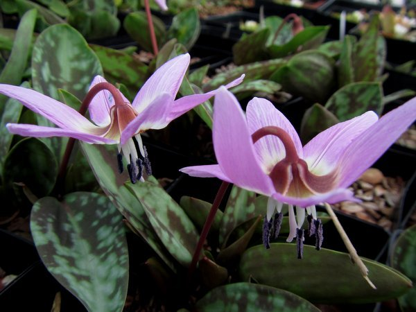"Erythronium dens-canis 'Purple King"""
