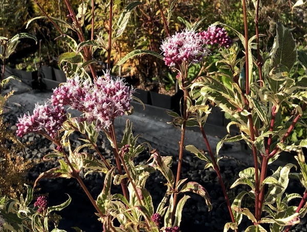 Eupatorium fortunei 'Pink Frost'