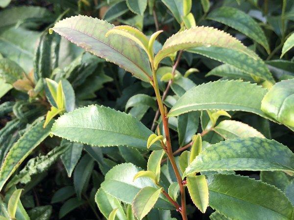 Eurya cf. leptophylla MWT 14-704