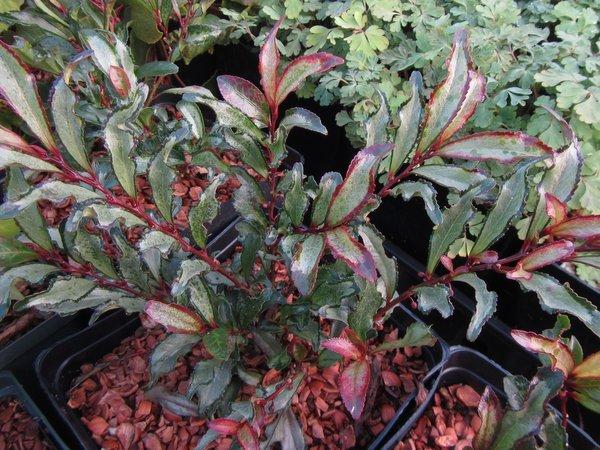 Eurya japonica 'Moutiers'