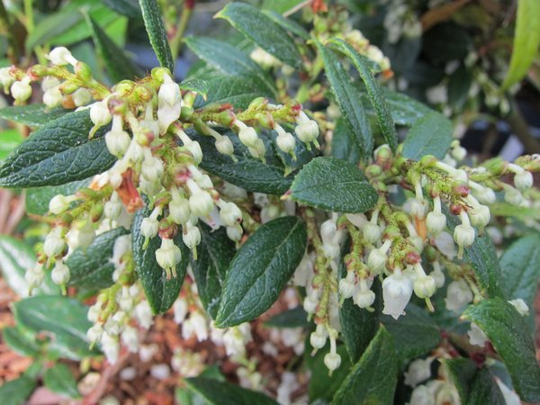 Gaultheria insana (sym Pernettya furens, G. furens)