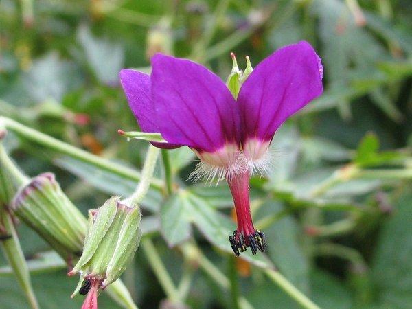 Geranium delavayi