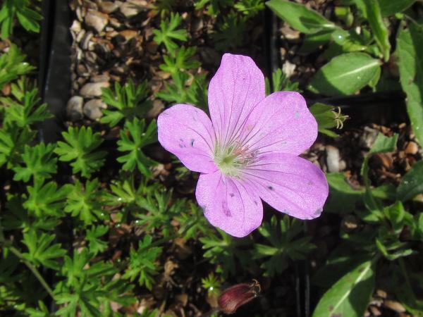 Geranium stapfianum