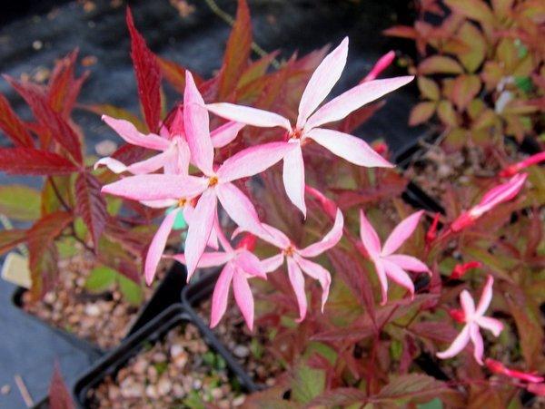 Gillenia (syn. Porteranthus) trifoliata 'Pink Profusion'