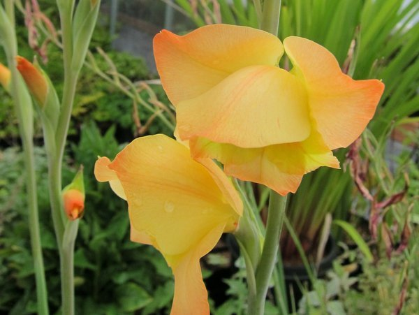 Gladiolus dalenii 'Boone'