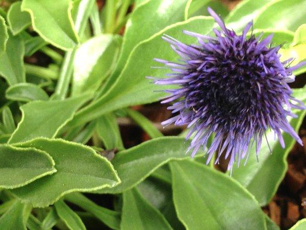 Globularia trichosantha DHTU0026