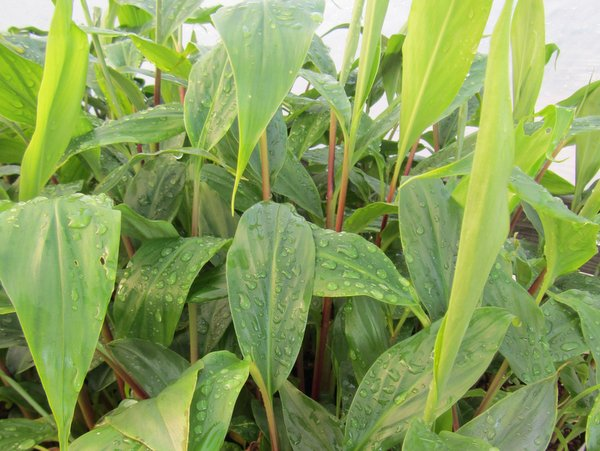 Hedychium spicatum (collected as tengchongense) FMWJ 13096
