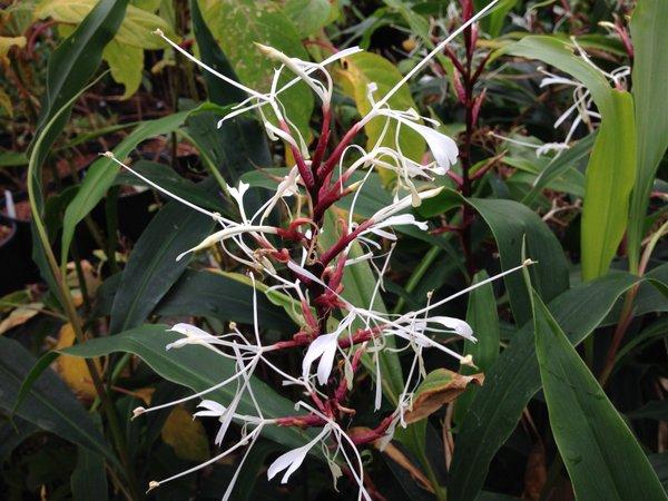 Hedychium villosum var. tenuifolium KWJ12305