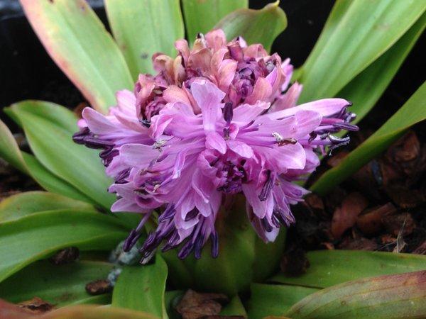 Heloniopsis orientalis - Dark Double