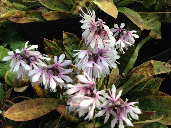 Heloniopsis orientalis var. breviscapa A-So BSWJ5850