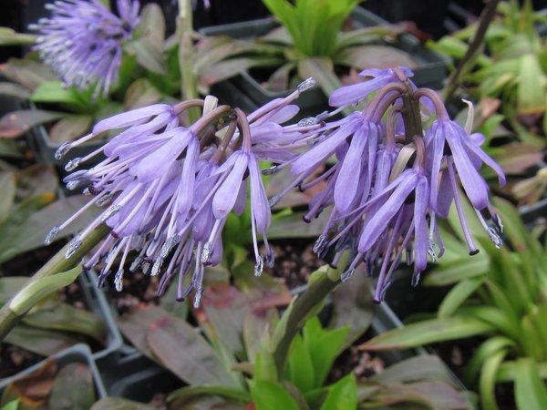 Heloniopsis tubiflora 'Temple Blue' BSWJ956