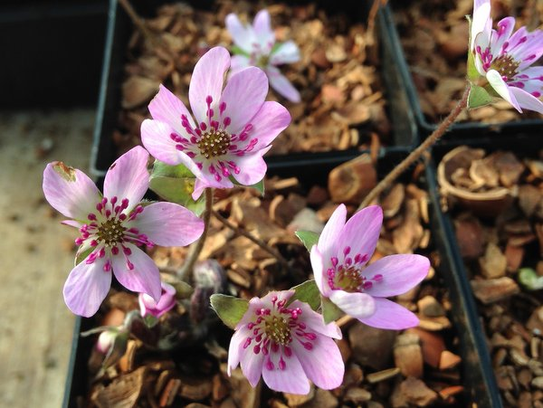 Hepatica nobilis var. pyrenaicum - pink