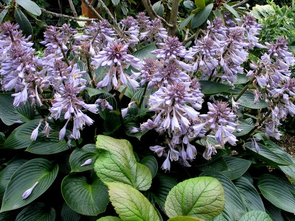 Hosta 'Canadian Shield'