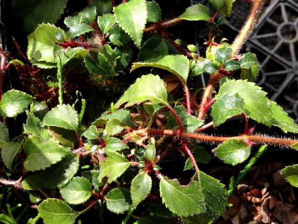 Hydrangea anomala subsp. petiolaris var. minor BSWJ 5991