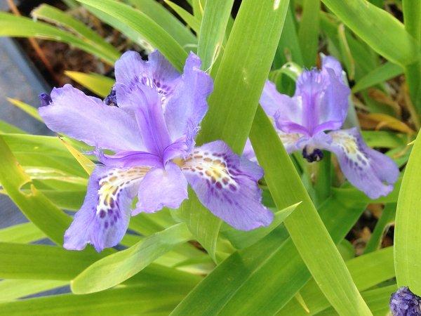 Iris sp. CDHM 14571