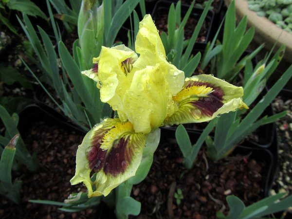 Iris 'Meadow Court' (SDB)