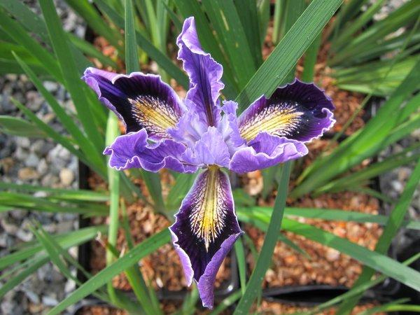 Iris 'Ami Royale'  PCH
