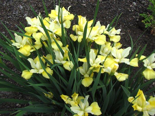 Iris sibirica 'Scramble'