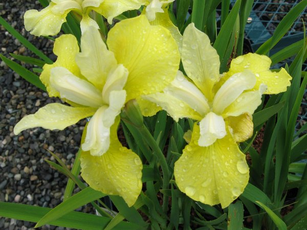 Iris sibirica 'Welfenschatz'