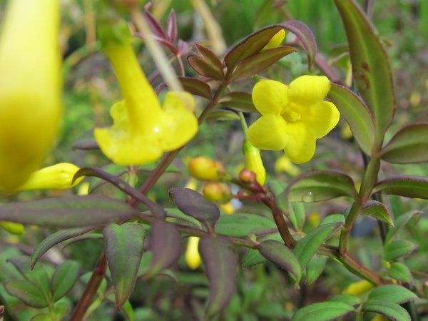 Jasminum humile f. wallichianum