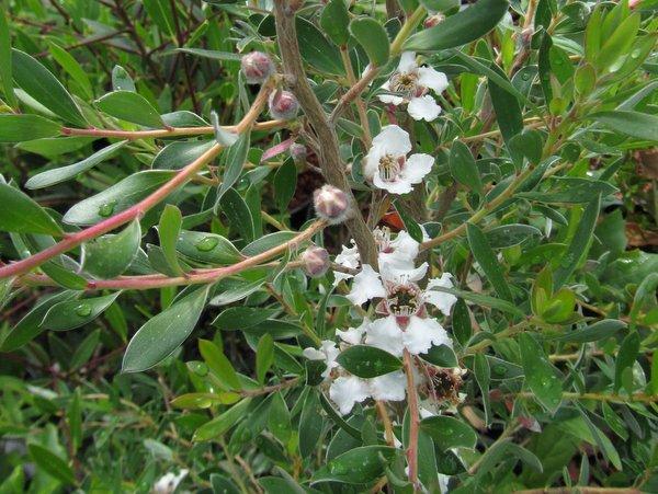 Leptospermum grandiflorum 'Eugene Hardy'