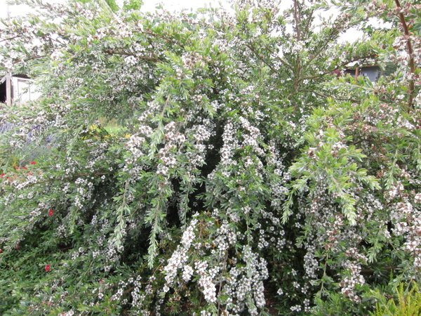 Leptospermum namadgiensis