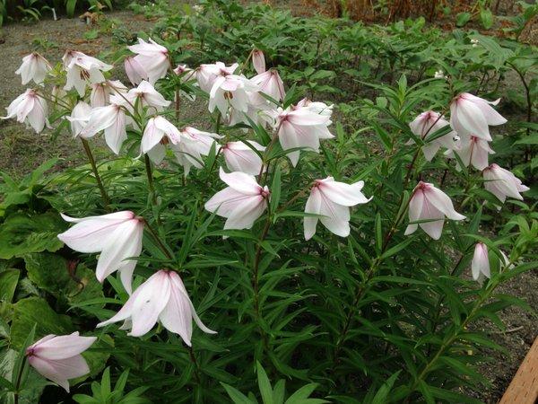 Lilium mackliniae - KW form