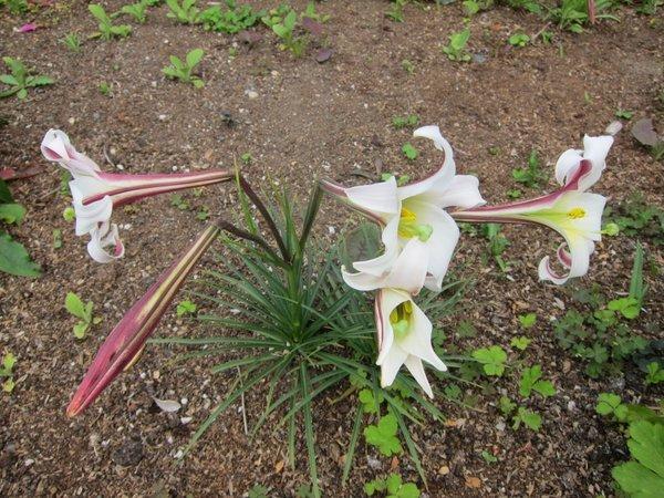 Lilium formosanum v. pricei