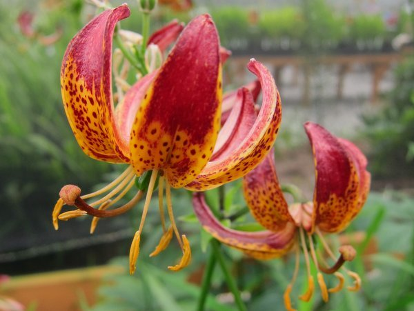 Lilium x martagon 'Arabian Night'