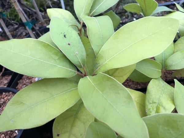 Litsea japonica