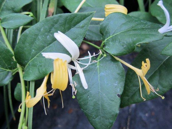 Lonicera similis var. delavayi AGM