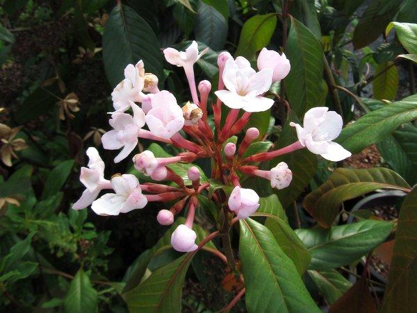 Luculia pinceana (syn. intermedia)