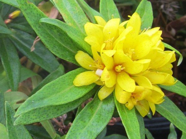 Lysimachia paridiformis var. stenophylla JN818