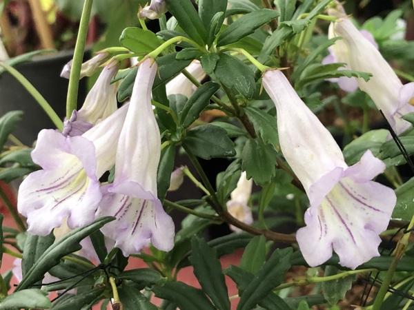 Lysionotus pauciflorus var. pauciflorus