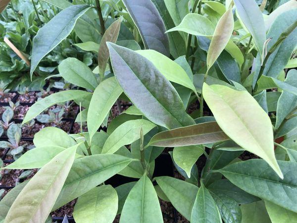 Magnolia foveolata NV 050