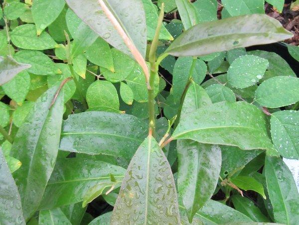 Magnolia insignis DJHV06391